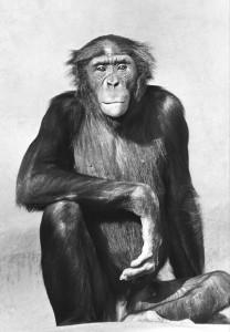 bonobo14 (2)