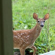 Organic deer repellant