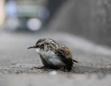 A migrating bird survives a collision with a Center City sky scraper.