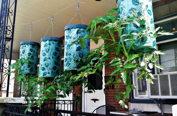 Topsy Turvy Tomatoes - Growing tomatoes upside down
