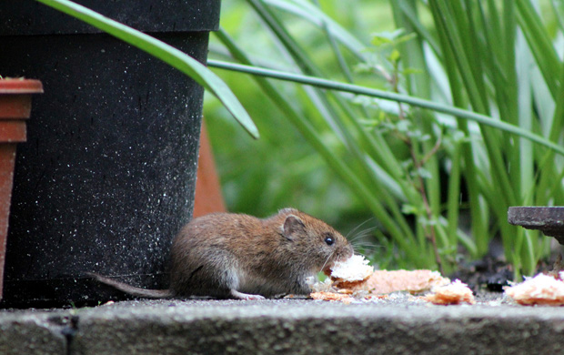 Getting rid of moles and voles in garden