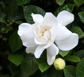 How to grow a gardenia