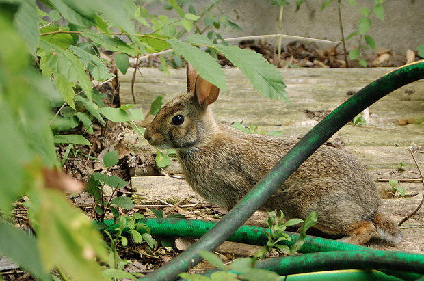 Keeping rabbits out of the garden