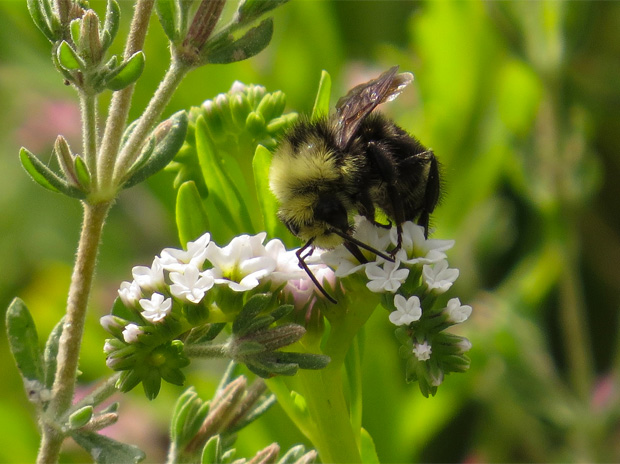 Mass killing of bumblebees in Oregon