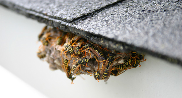 Getting rid of yellow jackets without chemicals