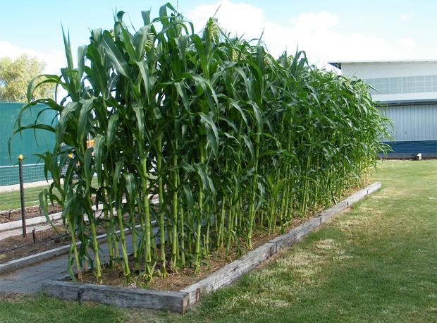Home Grown Sweet Corn Whyy