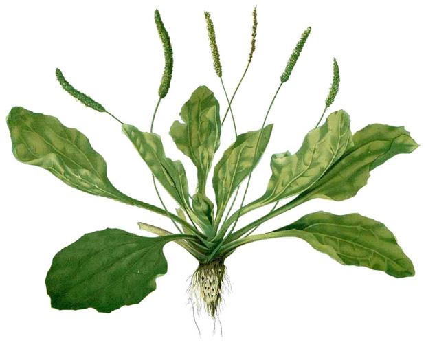 Plantain weed, Plantago major
