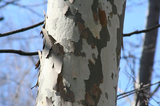 Sycamore bark peeling