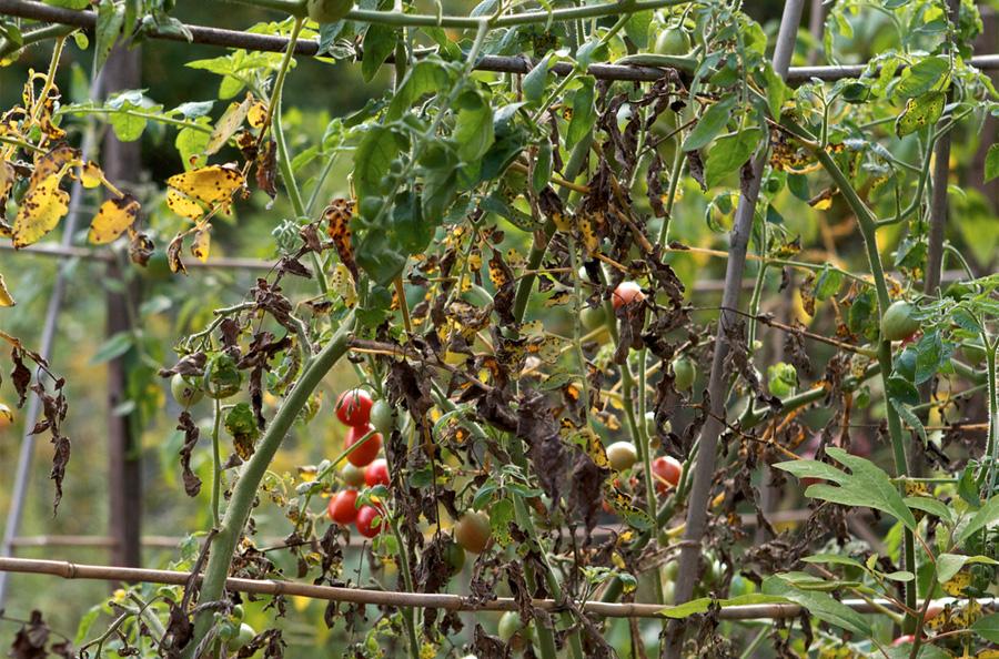 End of season cherry tomatoes