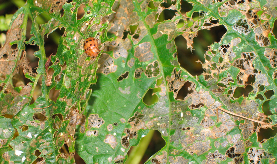 Lady bugs and Mexican bean beetles