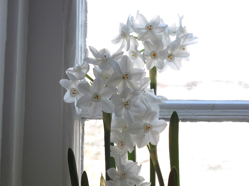 Caring for paperwhites, holiday flowers