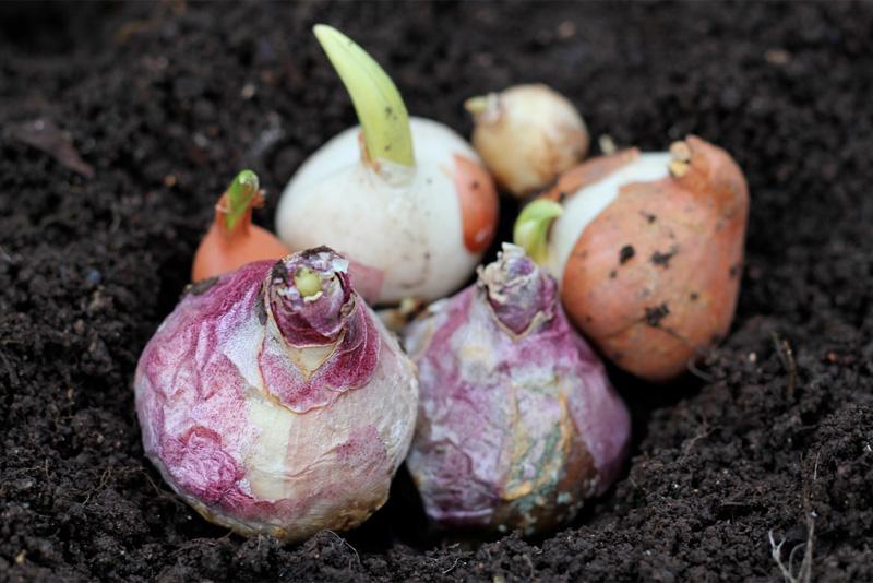 Planting spring bulbs in December