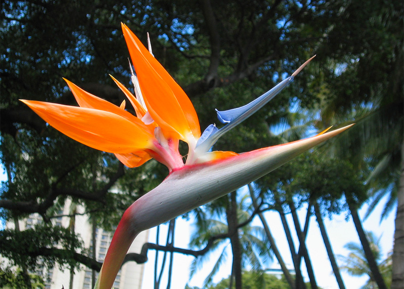 Growing bird of paradise