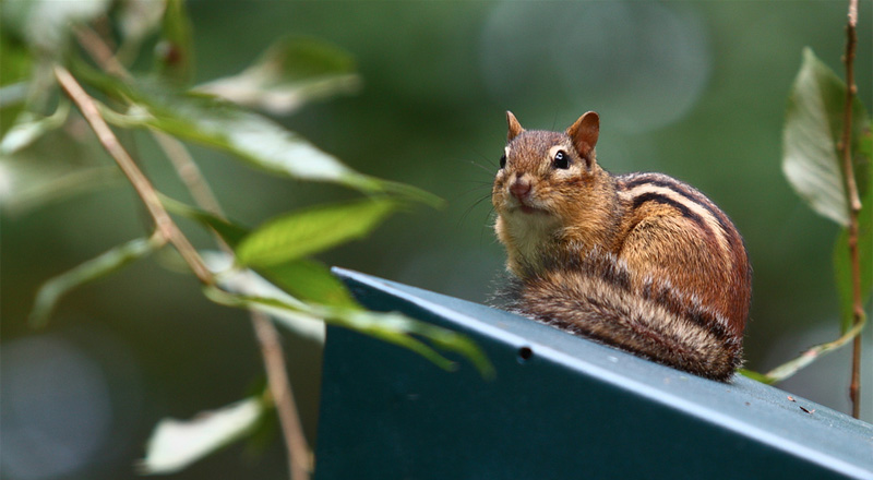 How to get rid of chipmunks and squirrels
