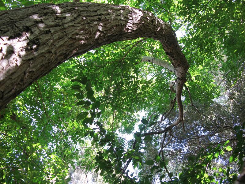 Planting, gardening under a walnut tree