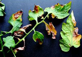 Verticillium wilt tomato leaves