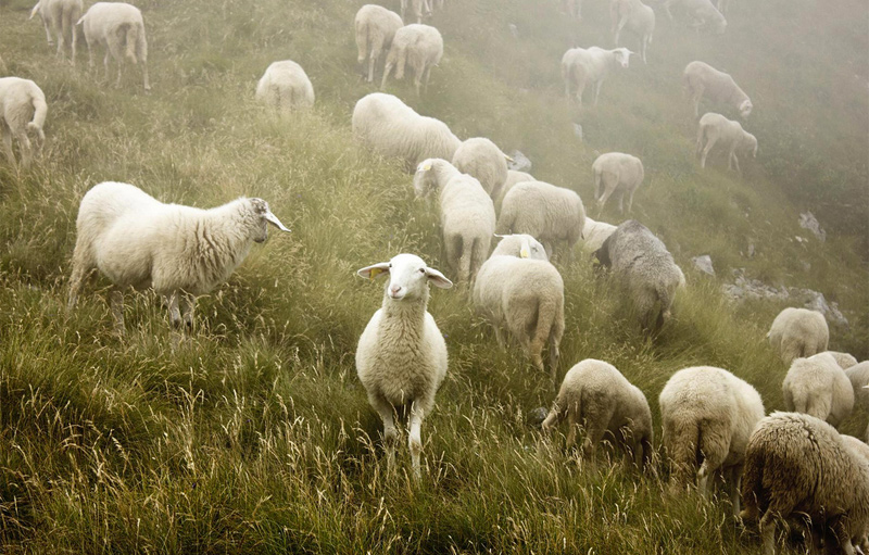 sheep for weed control