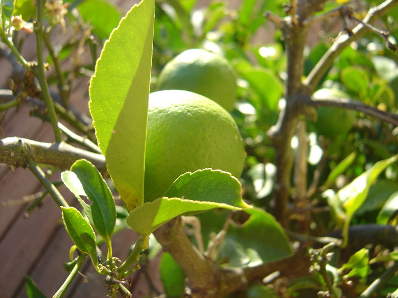Fruit growing on a deck