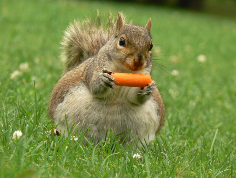 Keeping evil squirrels out of your tomatoes and other fruits