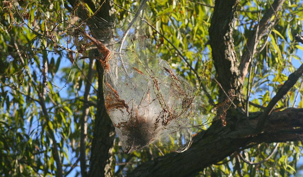 Webworms Web in Tree