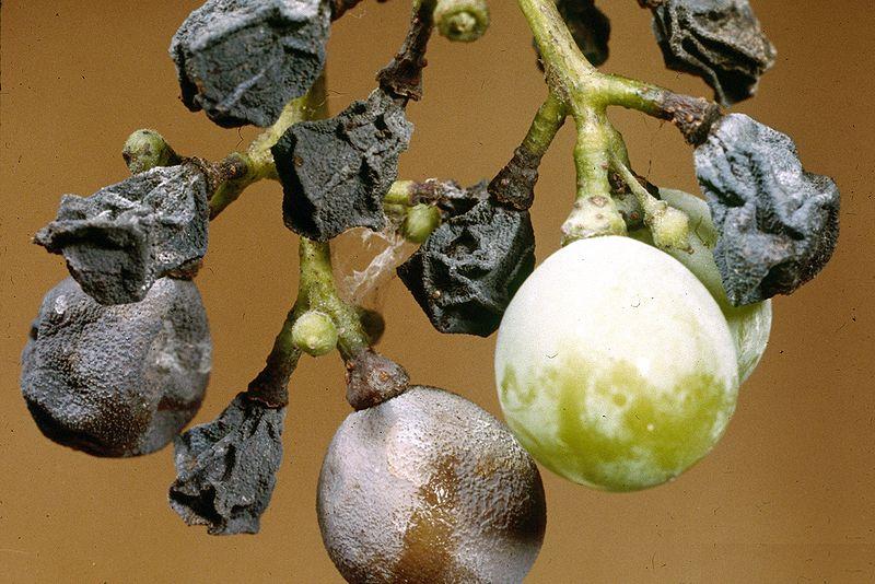 800px-Guignardia_bidwellii_(black_rot)_on_grape_2-1