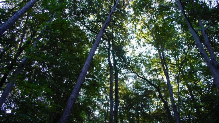 Fernbank Forest's tree canopy stretches 156 feet into the air. Many of the trees have been able to live two or three hundred years. (Stephannie Stokes/for WHYY)