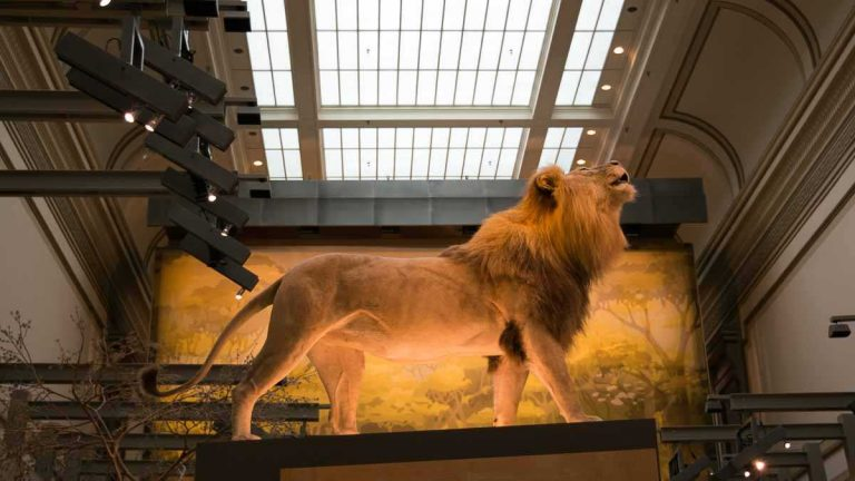A lion high up on a pedestal in the Mammal Hall at the Smithsonian's National Museum of Natural History. (Paige Pfleger/WHYY)