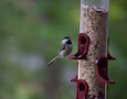 a chickadee at a feeder