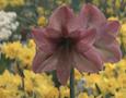 an amaryllis at the Philadelphia Flower Show