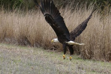A mature female bald eagle is released back into the wild March 28