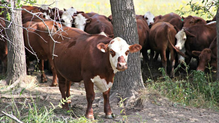 The cattle at Covered-L Farms are a mix of Herford and Red Angus breeds. Landers converted his cattle ranch to 100 percent grass-fed beef in 2007. (Kristofor Husted/Harvest Public Media)