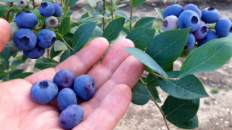 Courtesy of DiMeo Blueberry Farms in Hammonton, N.J.)