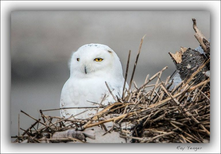 A snowy owl resting in Holgate, Long Beach Island in Nov. 2014. (Photo courtesy of Ray Yeager)