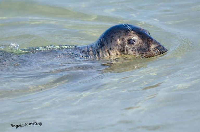 The seal in Island Beach State Park by JSHN contributor Angela Previte, who says she was at a safe distance using a 300 mm lens.