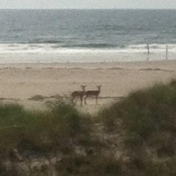Deer in Wildwood Crest today. (Photo: Wildwood 365)