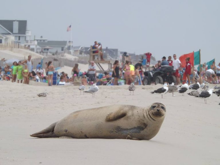 A seal in Brick Beach III on August 23, 2013. (Photo: Jerry Meaney/Barnegat Bay Island, NJ)