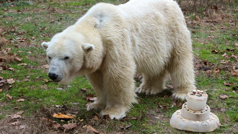 Coldilocks, the oldest polar bear in the country, turned 35 Wednesday at the Philadelphia Zoo. (Photo courtesy of Philadelphia Zoo)