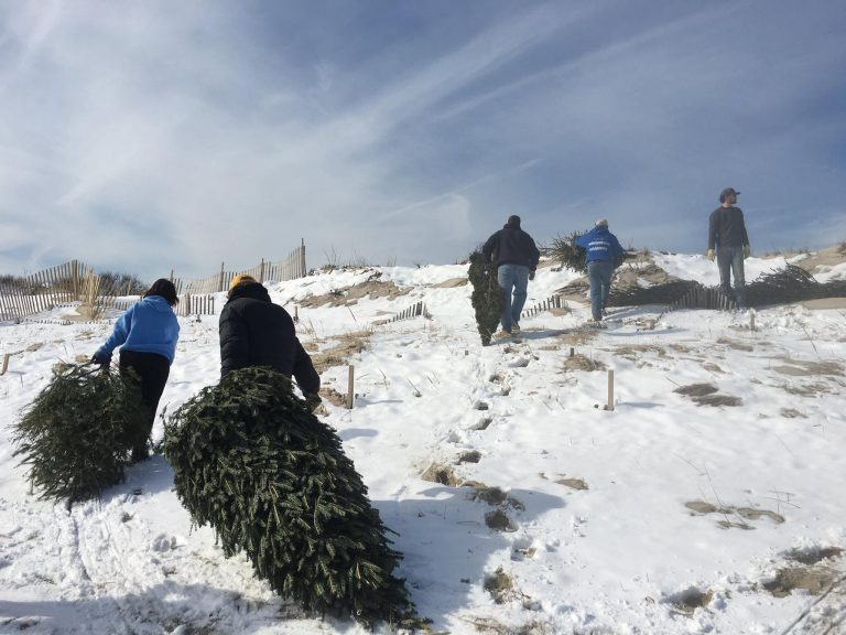 Volunteers dragging Christmas trees into the Midway Beach dunes on Saturday. Photo courtesy of Dominick Solazzo/Shifting Sands.