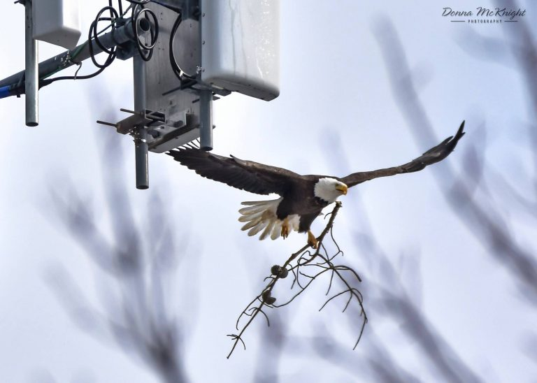 A bald eagle delivers material to a nest on a Brick Township cellular tower in March 2016. (Photo: Donna McKnight)
