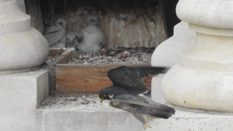 The recently hatched peregrine falcons sit in their City Hall aerie. (City Hall Falcons/Facebook)