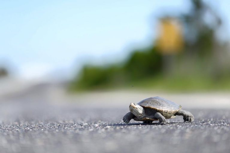 A northern diamondback terrapin crossing a road in the Great Bay Blvd. Wildlife Management Area yesterday. (Photo: Ben Wurst/Conserve Wildlife Foundation of New Jersey)