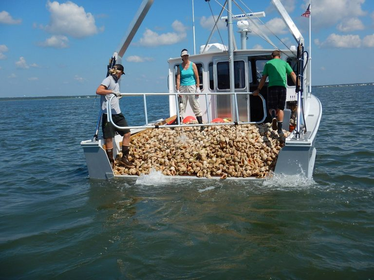 Whelk shells deposited at an oyster reef site in the Little Egg Harbor Bay earlier this week. (Photo: Stockton University Marine Field Station)