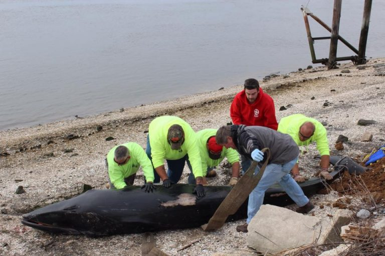 Unidentified men help secure the whale that was found stranded on an island in the Delaware Bay last week. (Photo courtesy of the Marine Mammal Stranding Center)