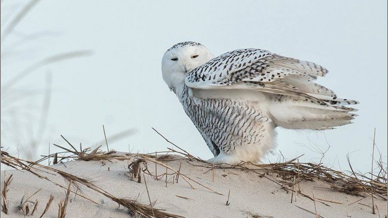 Snowy Owl on Island Beach State Park. (Photo courtesy of Ray Yeager/RTY Photography via JSHN)