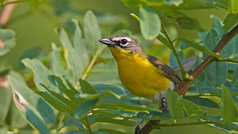 The Yellow-breasted Chat is one of the more challenging birds to spot for those involved in the World Series of Birding. (AP Photo/New Jersey Audubon Society, Robert Lego)