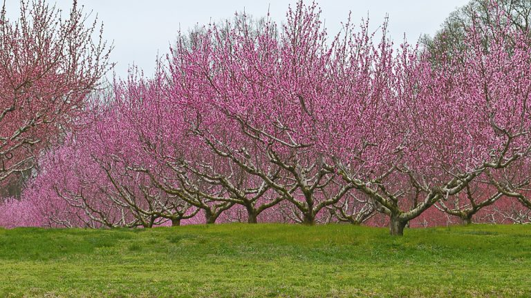 A view of apple blossoms in an orchard in Central New Jersey. (Shutterstock file photo)