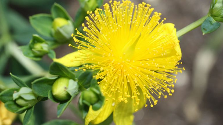 Used to treat anxiety and depression, St. John's wort is a common and popular herbal supplement.