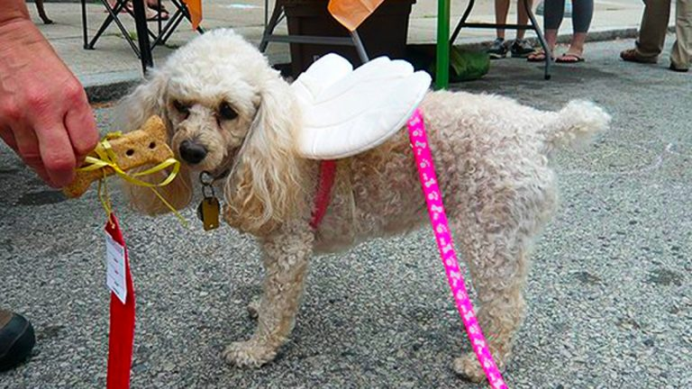 Poodle with wings at a Pet-A-Palooza held in Philadelphia in 2011. (Alan Tu/WHYY)