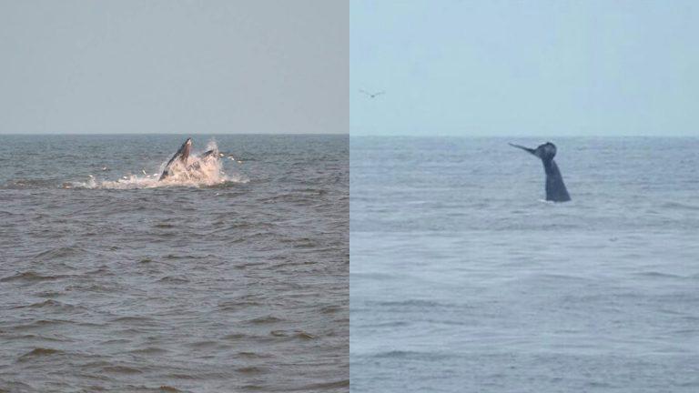 Whale breaches off Sea Bright (left;