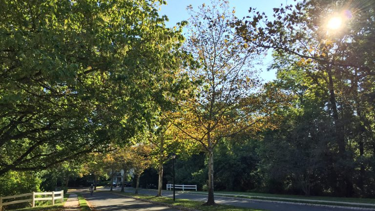 Leaves on this tree in Princeton turned brown and fell off. (Alan Tu/WHYY)